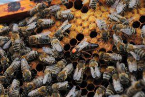 queen-bee-1256034_1920